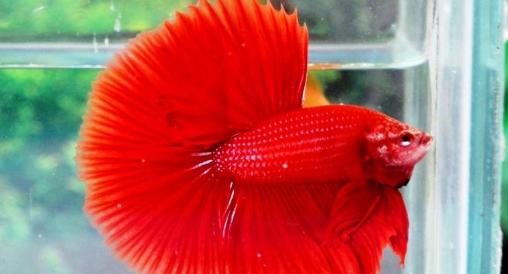 Ikan hias aquarium air tawar ikan cupang