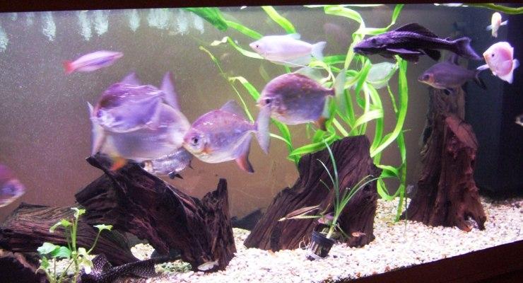 aquarium dengan ikan silver dollar yang cantik