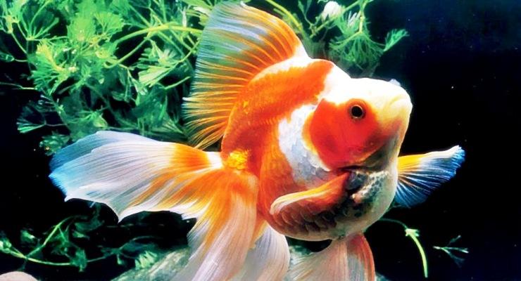 keindahan taman air dan ikan mas koki