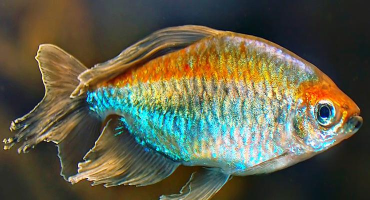Ikan hias Congo-Tetra untuk aquarium aquascape