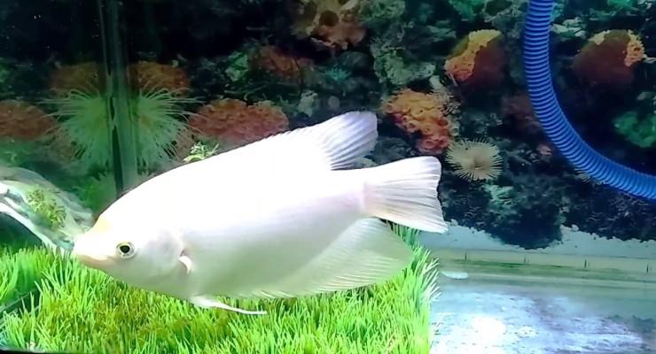 ikan hias gurame padang untuk aquarium