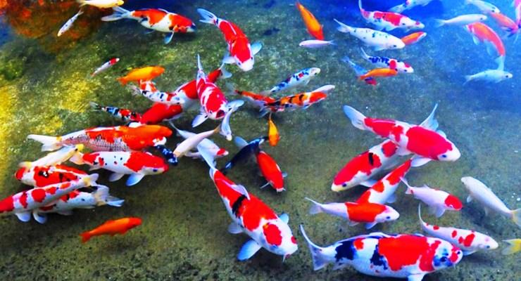 Bisnis Ikan Hias di Indonesia