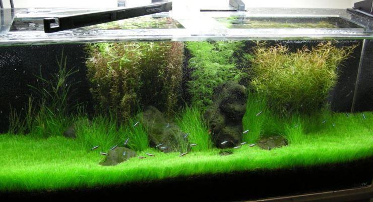Dwarf hairgrass tanaman karpet